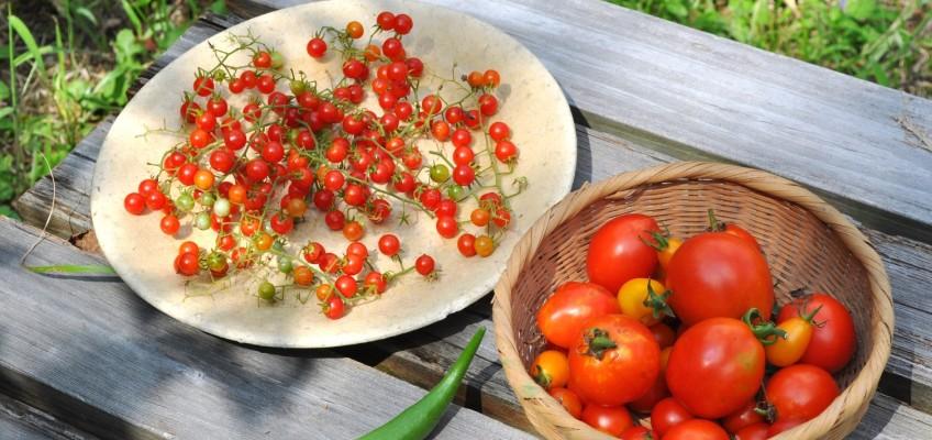 豊作マイクロトマト